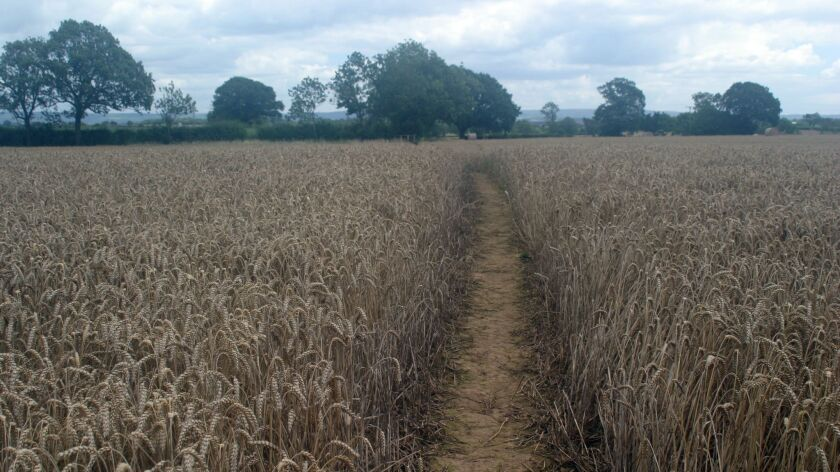 The walk includes treks through pastures and cropland, such as this grain field in the Vale of Mowbr