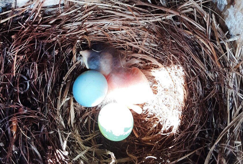 A baby blue bird and two unhatched eggs in a nest in Fairfax, Virginia.