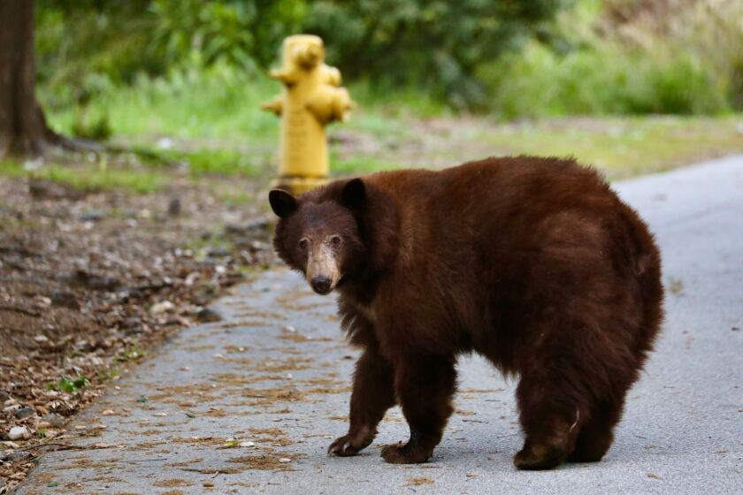 The bear knocked over trash cans in a neighborhood before heading back toward the Angeles National Forest.