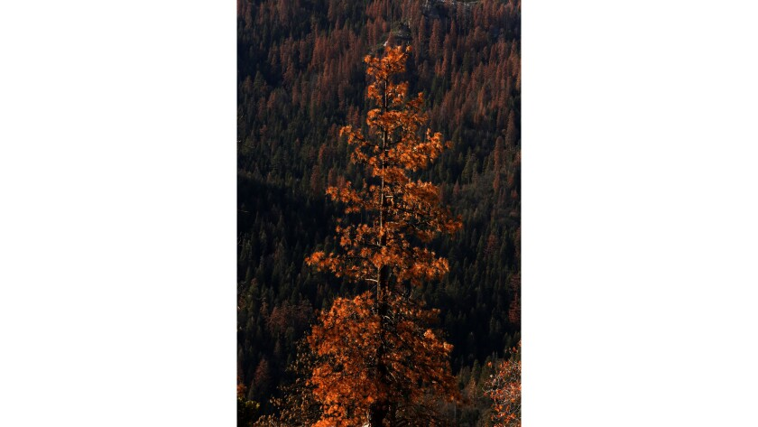 A dead pine tree stands against a backdrop of dead conifers in the Seqouia National Forest.