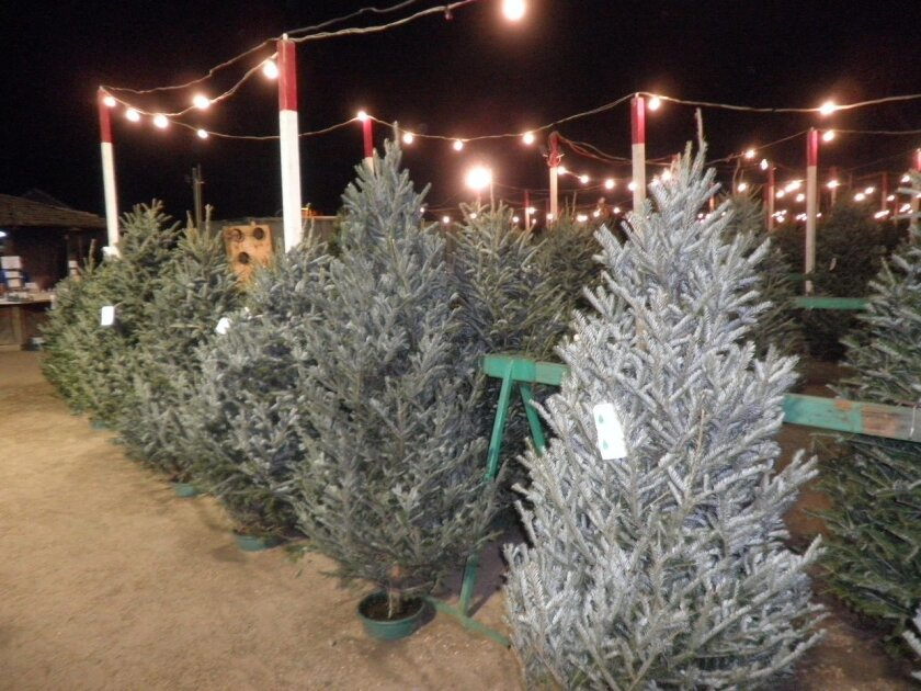 Christmas Tree Lots.Check It Out Evergreen Nursery Christmas Tree Lots The