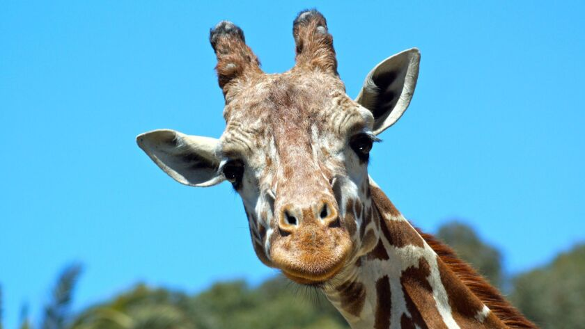 Undated handout photo courtesy of the Oakland Zoo of Benghazi the giraffe. Benghazi, also known as B