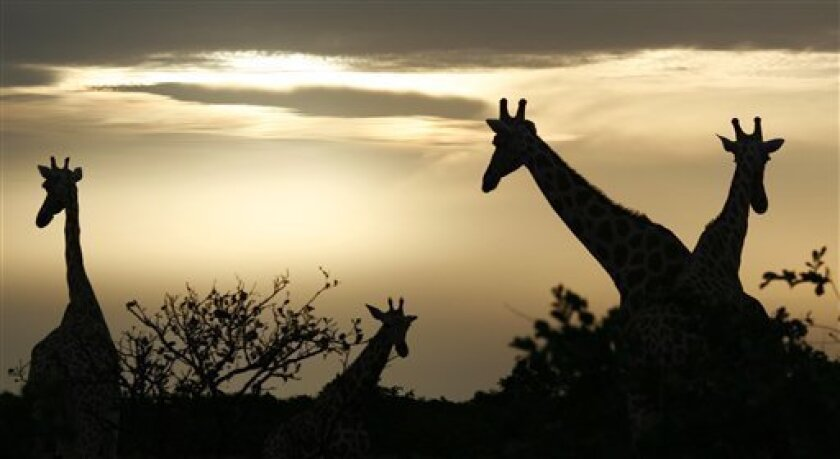 In this Aug. 2, 2009 photo, giraffes from Africa's most endangered giraffe subspecies feed at sunrise, in the bush near Koure, Niger. By all accounts, they should be extinct. Instead, their numbers have quadrupled to 200 since 1996, an unlikely boon experts credit to the concurrence of an impoverished government keen for revenue that has enacted laws to protected them, a conservation program that encourages people to support them, and a rare harmony with humans who have accepted their presence. (AP Photo/Rebecca Blackwell)
