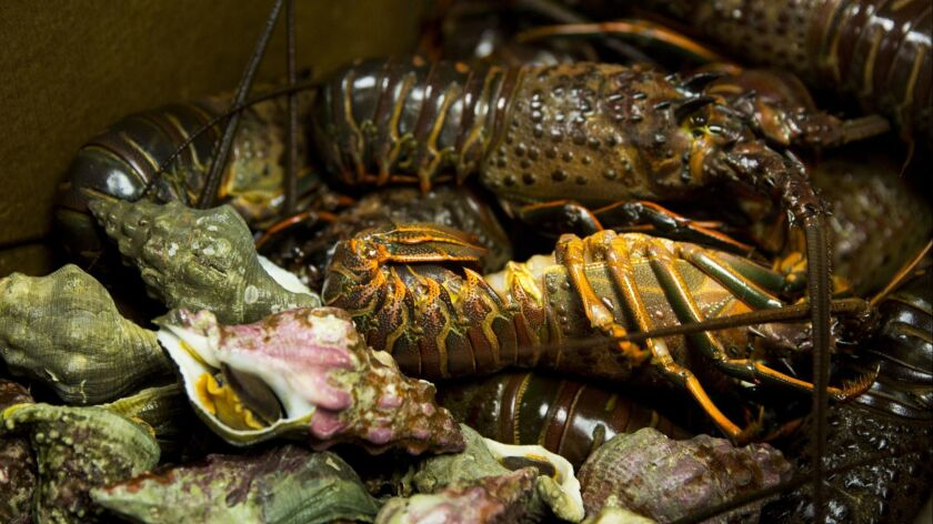 LOS ANGELES, CA --OCTOBER 21, 2015--Fresh-caught spiny lobster and whelks are delivered to Michael C