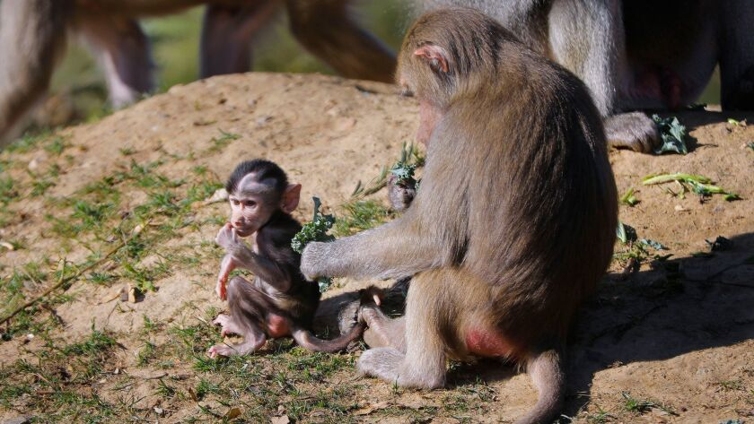 SAN DIEGO, CA 12/19/2017: A Hamadryads baboon and her infant, along with other Hamadryads baboons i