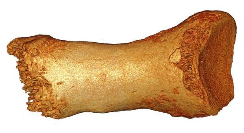 This toe bone from a Neanderthal, discovered in Denisova Cave in Siberia, is helping scientists understand interbreeding among species of ancient humans.