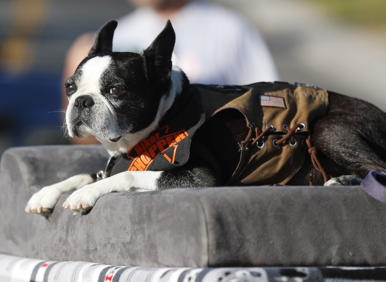 Chopper the Biker Dog watches a well-wishers do a drive-by birthday celebration for his 11th birthday at Dallas Park in La Mesa on August 2, 2020. The Boston Terrier, who is a therapy dog and regularly visits hospital patients, has had health issues over the last year.
