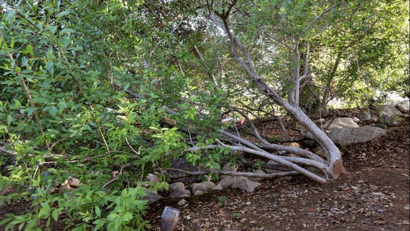 A Desert Olive tree planted in 1996 grows in the native plant garden at the home of Greg Rubin.