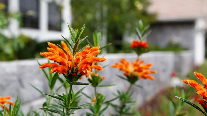 Lion's tail is one of the new drought-tolerant plants in the Poway front yard.