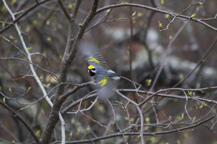 A male golden-winged warbler takes flight. A study shows the birds sensed distant tornadoes and retraced part of their annual migration to avert danger.