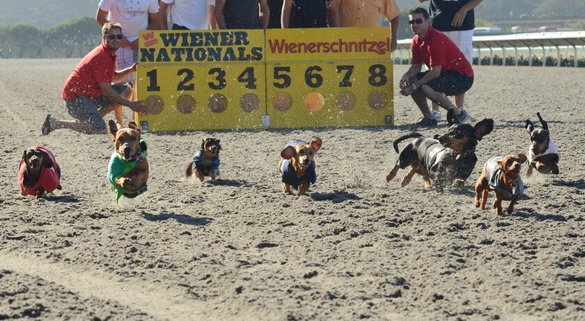The Wienerschnitzel Wiener San Diego Finals — held annually at the Del Mar racetrack — is set for Nov. 8. Photo by Kelley Carlson