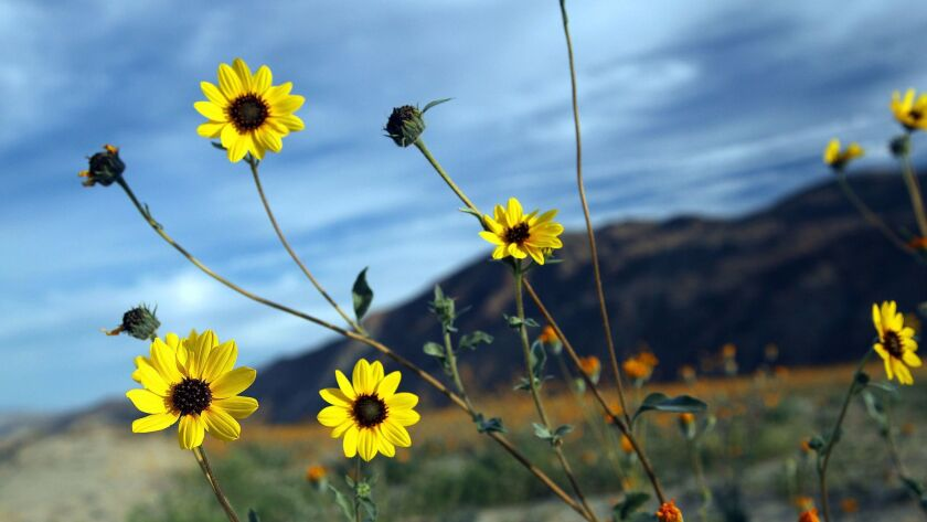 Borrego Springs, CA_3/17/15_Unseasonably warm temperatures have been tough on the wildflowers bloomi