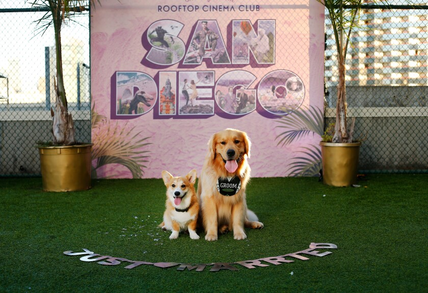 """As part of its inaugural """"Family Screenings"""" showing of """"Secret Life of Pets 2,"""" dogs can get """"married"""" at the Rooftop Cinema Club on Sunday, Sept. 8."""