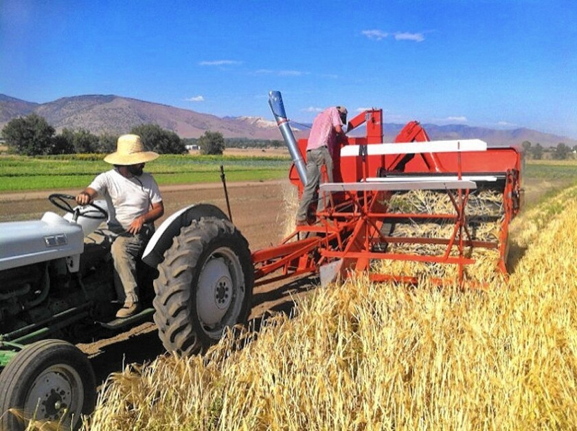 Grain is harvested by Nate Siemens and Curtis Davenport at Linda Vista Ranch in Fallbrook.