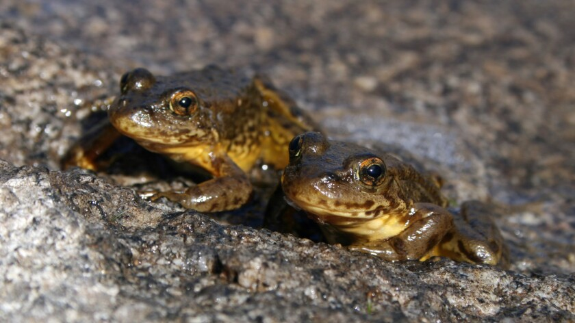 Laboratory experiments show some of the yellow-legged frogs have developed natural defenses against a lethal fungus.