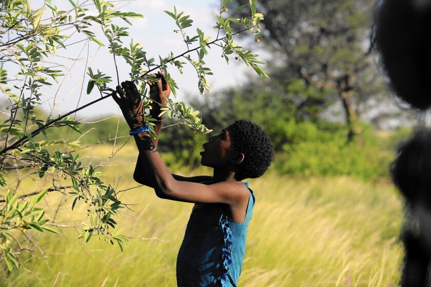 A young Bushman gathers berries in the Central Kalahari Game Reserve in Botswana. Activists say the government is making it impossible for Bushmen to survive on their traditional lands.