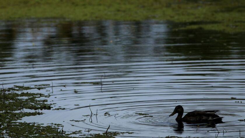 TORRANCE, CA - JUNE 2, 2019 - - A duck swims through the Madrona Marsh Preserve in Torrance on June