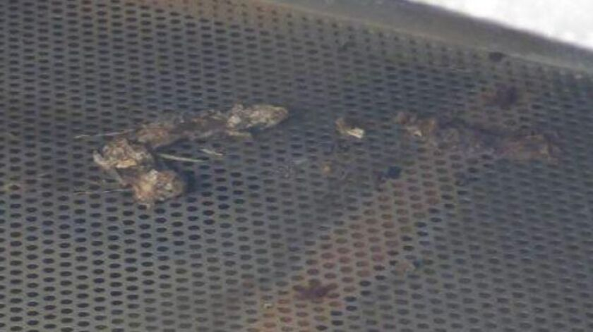 Rotting rat carcasses line a vent at a Camp Pendleton reservoir. Marine officials say that the drink
