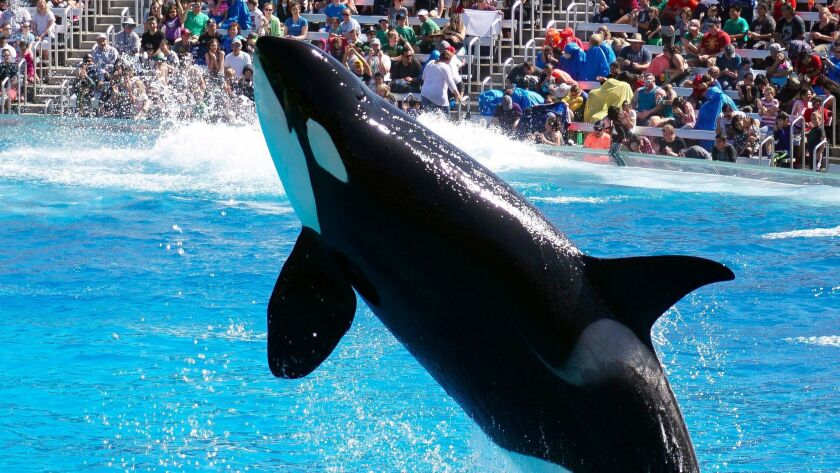 A killer whale jumps as it and other killer whales perform.
