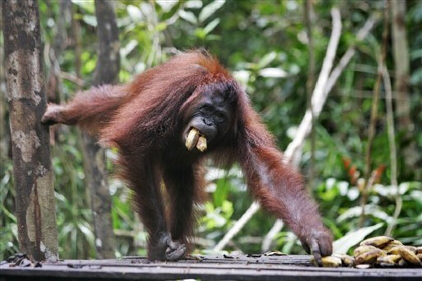 A female orangutan named Beki eats bananas at Tanjung Puting National Park on Borneo island, Indonesia, Saturday, Oct. 25, 2008. There are an estimated 60,000 orangutans left in the wild, mostly living in small and scattered populations that are unlikely to survive the onslaught on forests much lon