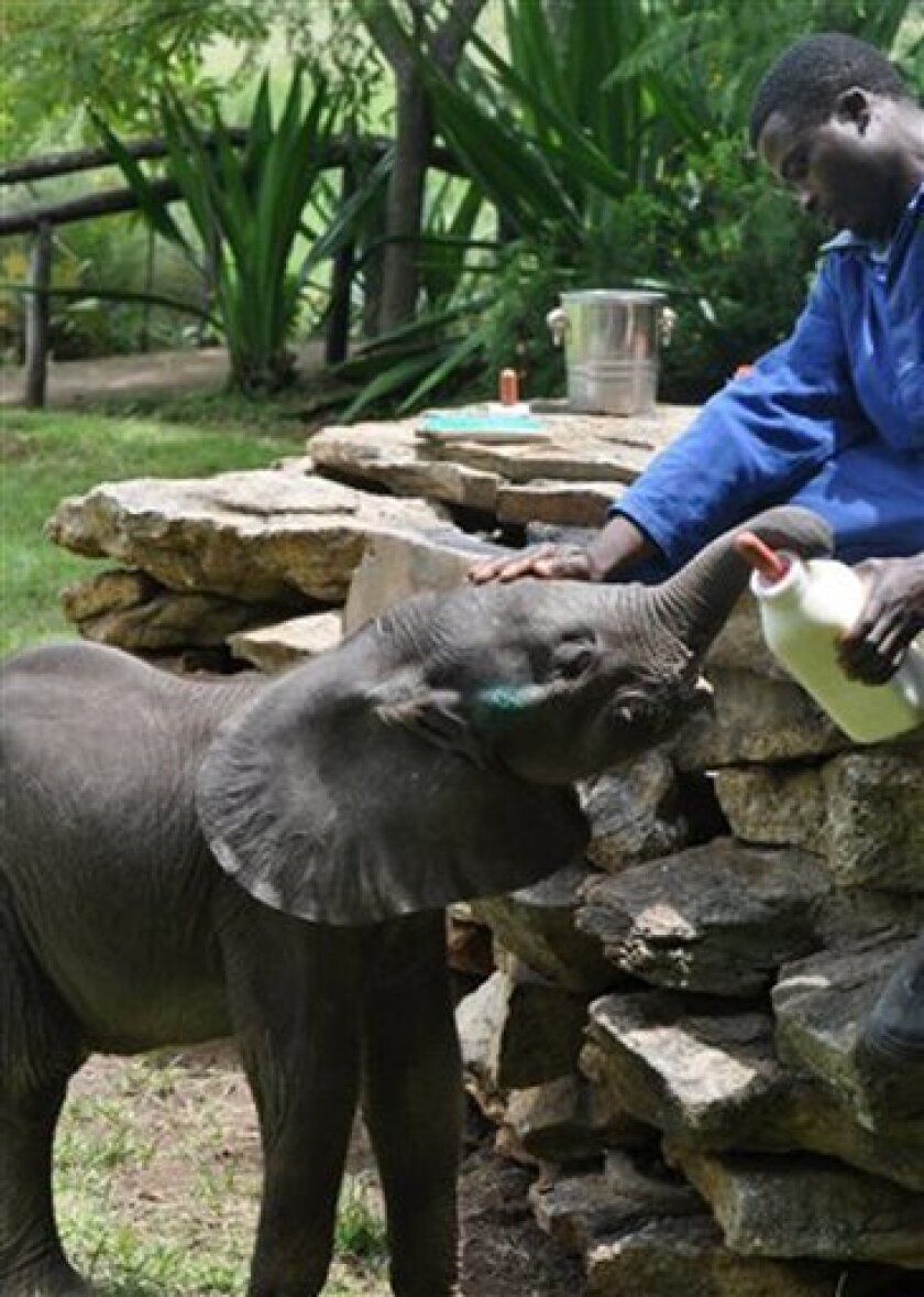 In this photo supplied by Mwanga Lodge, Shamva, Zimbabwe, a baby elephant is bottle fed by a carer shortly before falling ill late last month, Jan. Conservationists say round-the-clock efforts to save the elephant, seperated from its mother on a busy highway, have failed. The six-week-olf calf, hand-fed for three weeks, died, apparently from pneumonia. (AP Photo-Mwanga Lodge-Jo-Anne Lamb)