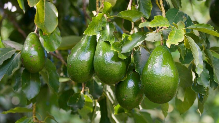 In September, your avocado and citrus trees need fertilizer.