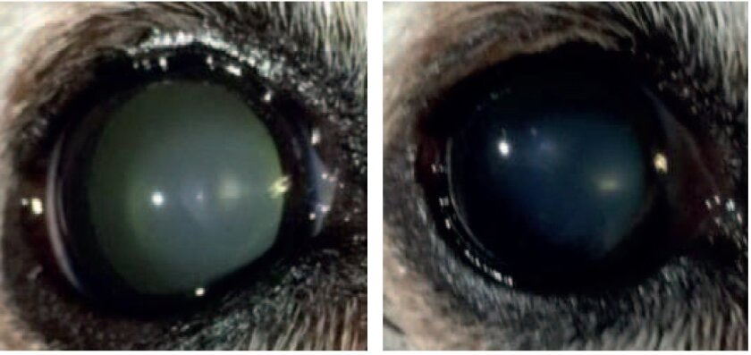 Left, rabbit lens with cataract before treatment. Right, after treatment.