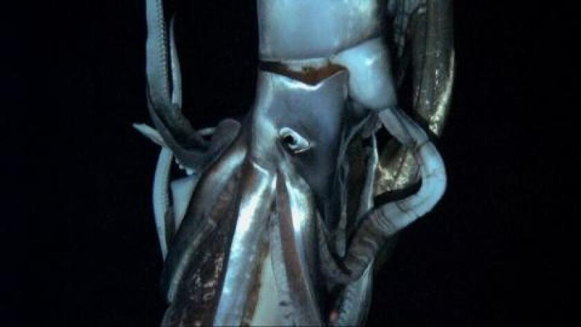 Scientists captured the elusive giant squid on video off the coast of Japan.