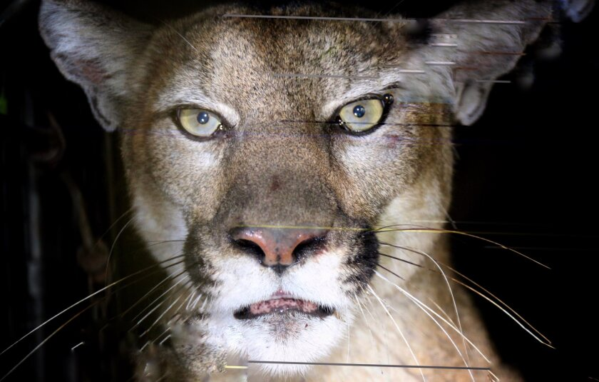 P-80 is the latest big cat to join the National Park Service's mountain lion study. She was captured in the Woolsey fire burn area.