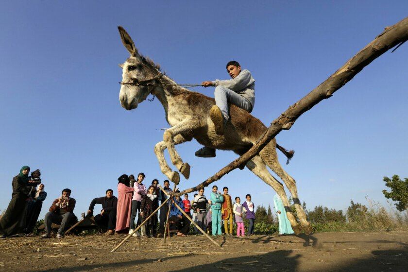 In this Friday, Feb. 5, 2016 picture, Egyptian farmer Ahmed Ayman, 14, rides his trained donkey as he jumps over a barrier in the Nile Delta village of Al-Arid about 150 kilometers north of Cairo, Egypt. He discovered the donkey's talent after she jumped over a small irrigation canal. (AP Photo/Amr