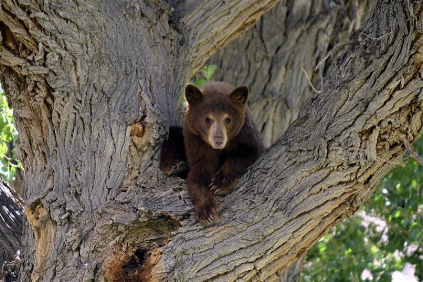 """Un oso negro que deambulaba solitario por una calle de la ciudad de Fort Myers (costa oeste de Florida) fue capturado sin percances con el goloso reclamo de unos ricos """"waffles"""" con sirope, informaron hoy medios locales. EFE/Archivo"""