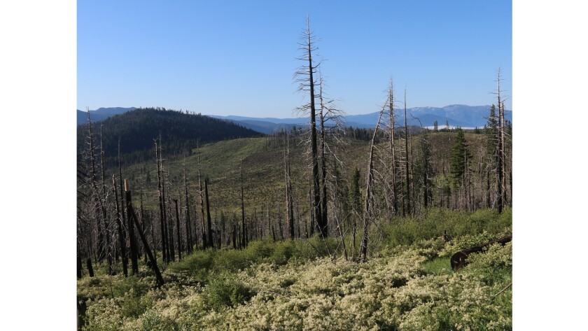 Nine years after the Moonlight fire in Plumas County, burned trees remain and other plant life has returned, providing habitat for birds.