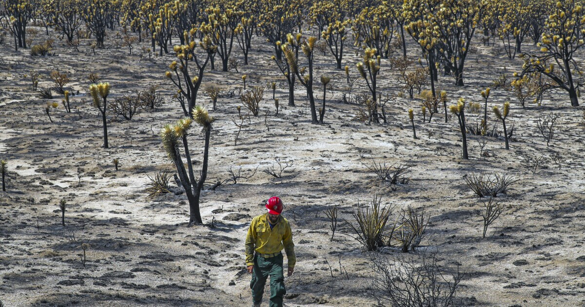 Mojave Desert fire in August destroyed the heart of a beloved Joshua tree forest
