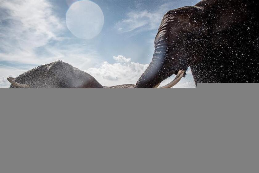 Un grupo de investigadores ha descubierto un gen que protege sobremanera del cáncer a los elefantes, una especie animal con unas incidencias muy bajas de muerte por esa enfermedad comparada con los humanos, de acuerdo a un estudio publicado hoy en la revista especializada Cell Reports. EFE/Archivo