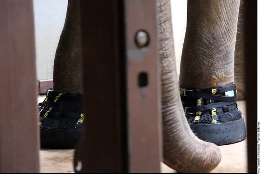 Diseñan botas anti artritis a... elefanta en zoológico de Washington.