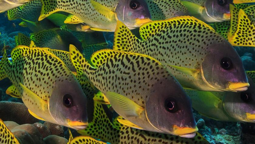 Blackspotted rubberlips (Plectorhinchus gaterinus) form a dense school on a reef in the Western Indian Ocean.