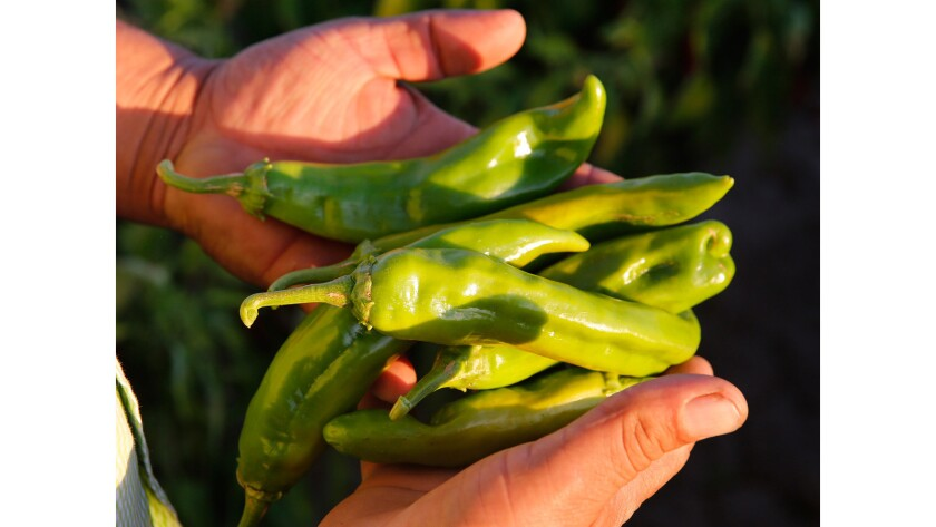 Farmer Sergio Grajeda holds green Hatch chiles from his fields in Hatch, N.M.