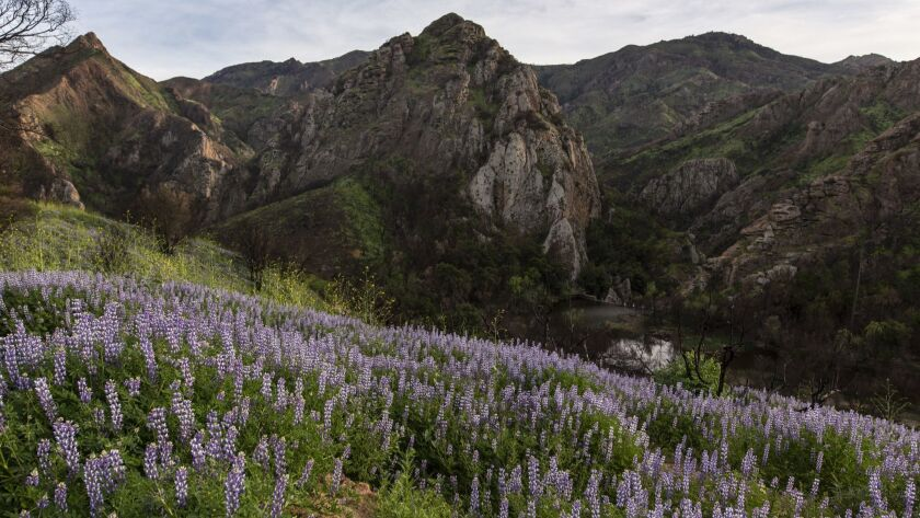 Arroyo lupine cover hillsides along some trails at Malibu Creek State Park, an area that was scorched in the Woolsey fire in November.