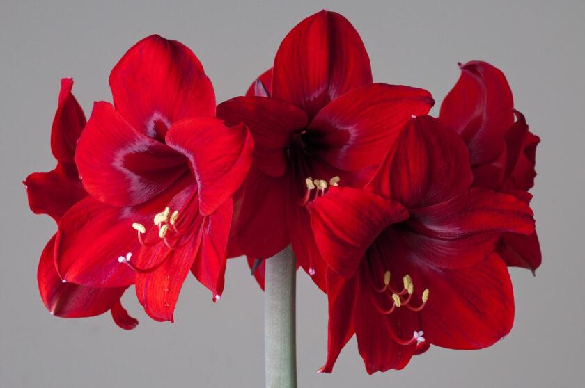 Rapido amaryllis is one of the recommendations from Jim Threadgill, owner of easytogrowbulbs.com.