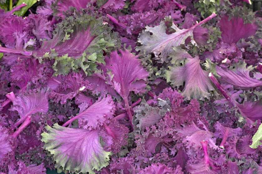 Chidori kale grown by Roots Organic Farm in Los Olivos.