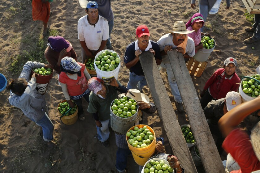 Workers wait to dump tomatillos into a cargo truck near the coastal pueblo of Teacapan, Sinaloa. Large, bright green tomatillos like these are favored by exporters.