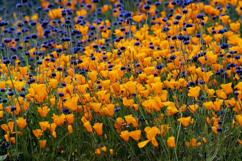 LAKE ELSINORE, CA - MARCH 9, 2019: The super bloom fills the hillsides with orange and purple color