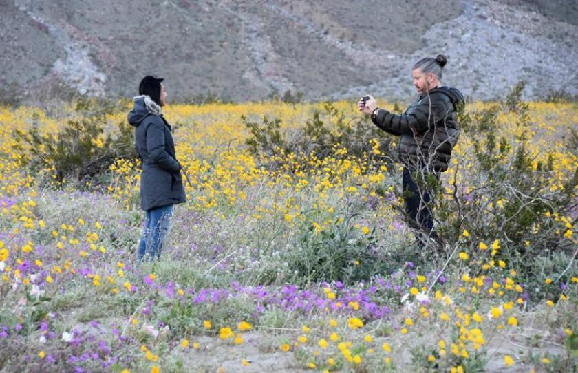 A couple takes photos of each other in California's Anza-Borrego Desert State Park on March 7, 2019, using as a backdrop the vast display of brightly colored flowers that is attracting nature lovers to delight in a phenomenon that has so far occurred four times in this century. EFE-EPA/Ivan Mejia