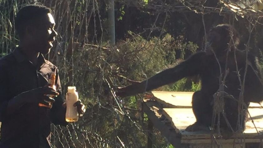 A passerby in Huambo, a central Angolan town, offers beer to an abandoned chimpanzee named Leila, ch