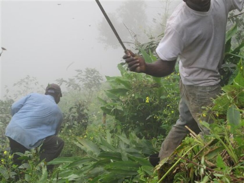 In this picture taken on Feb. 18, 2012, two farm workers slash underbrush and weeds with machetes on a mist-covered coffee farm in Jamaica's Blue Mountains. Times are hard for many of the growers of Jamaica's gourmet Blue Mountain coffee, which has long been ranked by connoisseurs as one of the world's richest coffees. (AP Photo/ David McFadden)