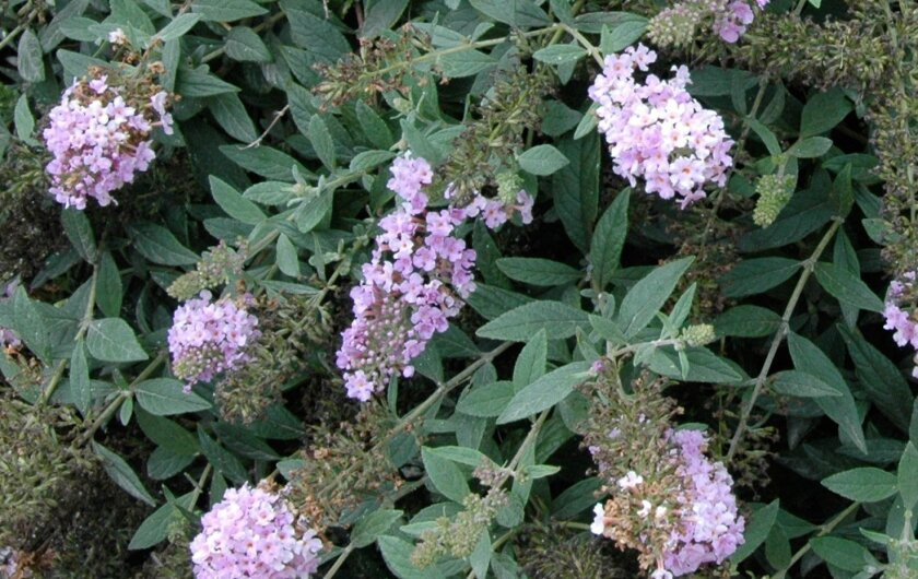 As the name suggests, the Butterfly Bush 'Lo and Behold' series is irresistible to butterflies. All varieties flower summer through fall.