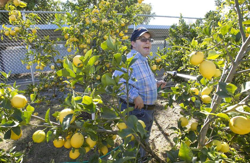 Resident Manny Flores waters lemon trees in the communal garden at the Fairview Developmental Center in Costa Mesa. State officials have proposed closing the facility, and the City Council has recommended that the city's updated general plan allow for 500 new housing units on the property.