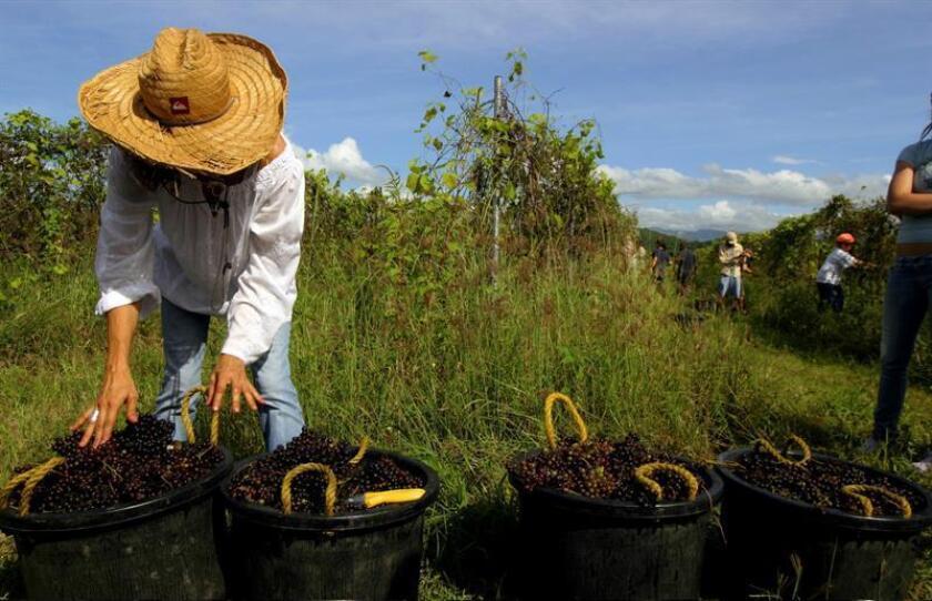 Una mujer ayuda en la recogida de la uva en los campos, en Guánica (Puerto Rico). EFE/Archivo