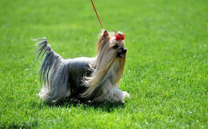 Fotografía de un Yorkshire Terrier paseando sobre un jardín. EFE/EPA/Archivo