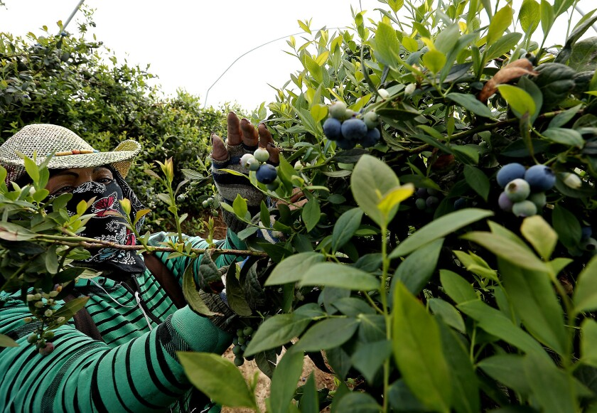 California blueberries
